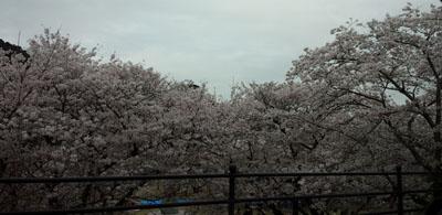 車窓から錦帯橋 桜2