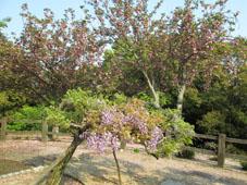 山頂 藤と八重桜