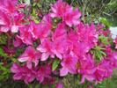吉香公園でお花見 ツツジ
