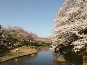 岸根公園桜3