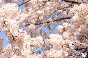 岸根公園桜2