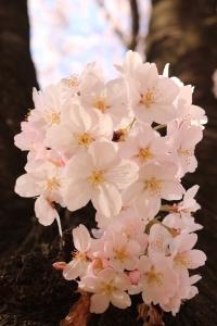 岸根公園桜4