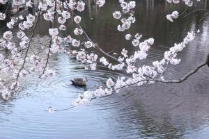 岸根公園鴨と桜