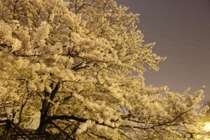 岸根公園夜桜