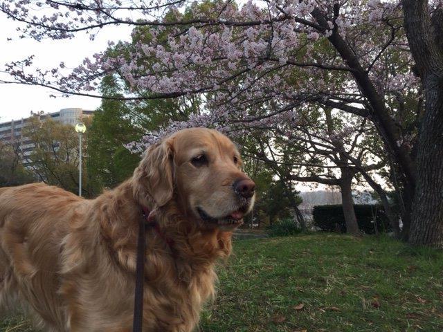 風菜ちゃん桜