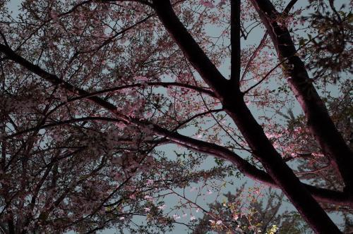 夜桜だね~