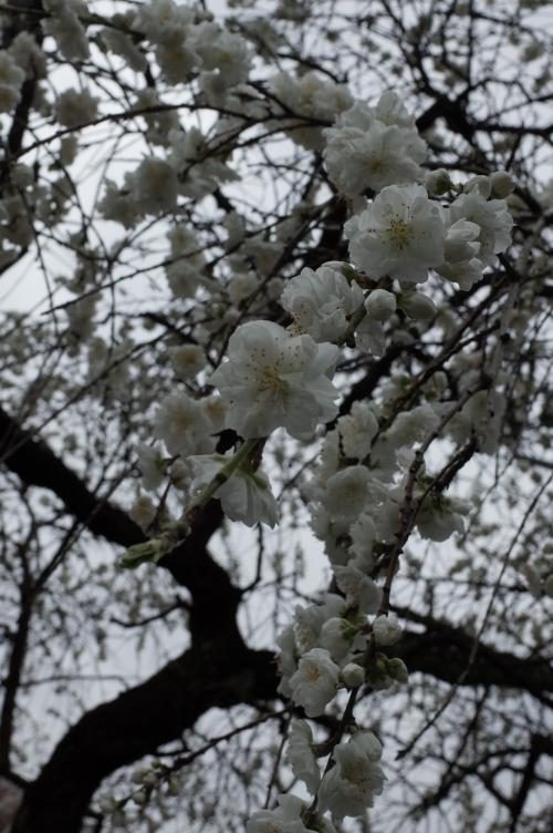 ちょっとだけ葉桜?