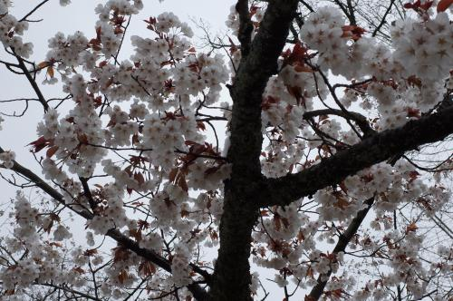 まだ桜がきれいなんだね♪