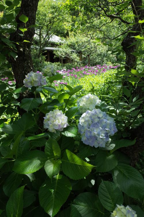 紫陽花と花菖蒲!