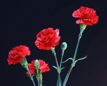 red-carnations-72691_640_convert_20150504023412.jpg
