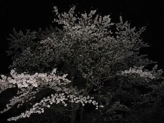 2015sakura6.jpg