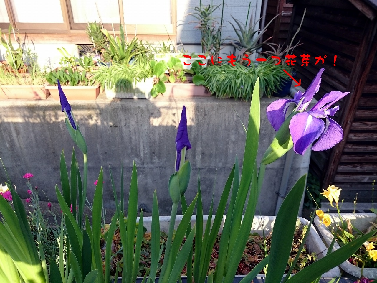 20150507-02_RabbitearIris-02.jpg