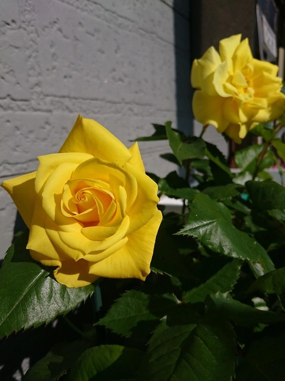 20150508-13_Rose(SunSprite).jpg