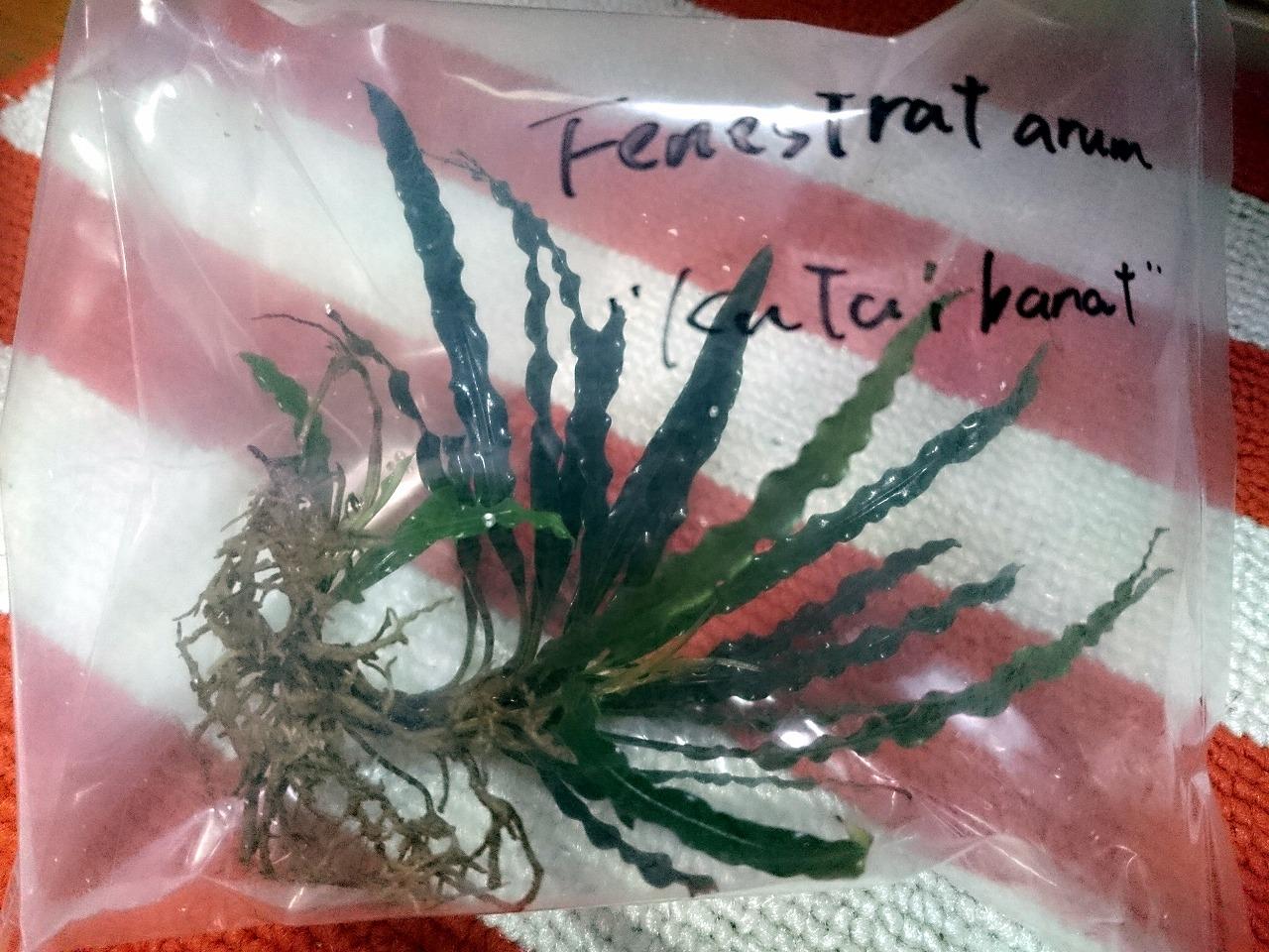 20150520-01_Fenestratarum-01.jpg