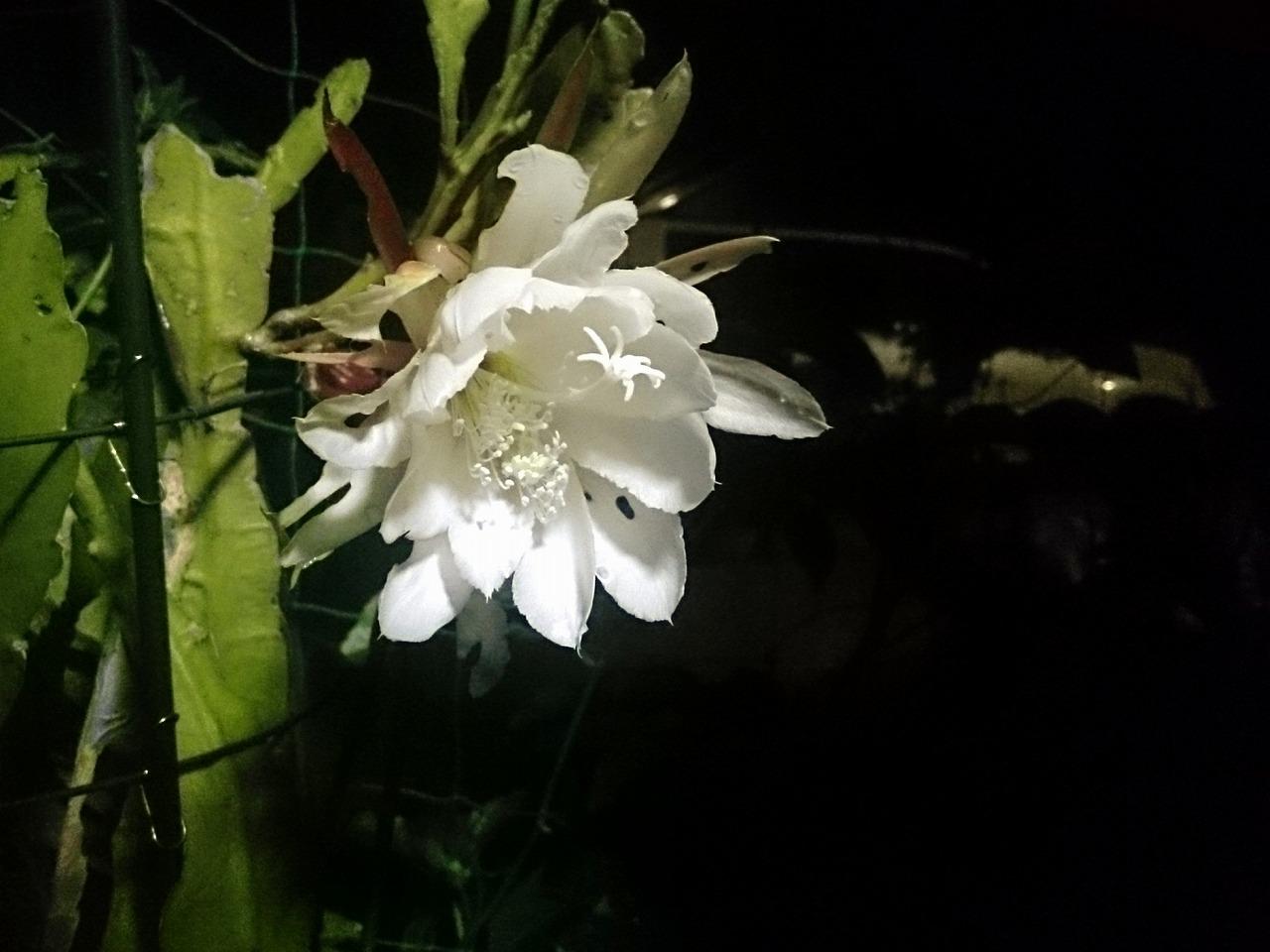 20150608-01_Epiphyllum.jpg