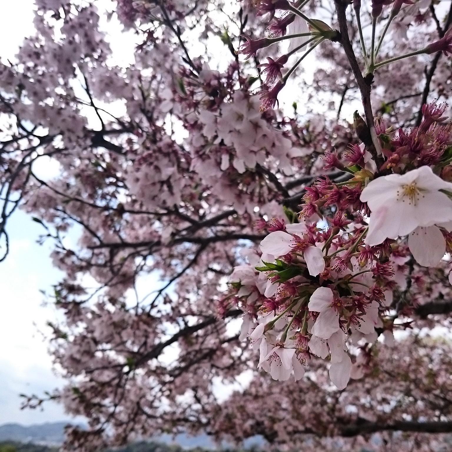 Miyajima-SA_20150405-02.jpg