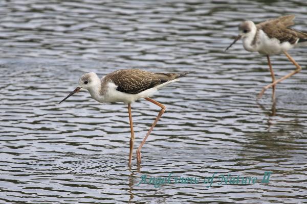 セイタカシギ幼鳥(201507293067)