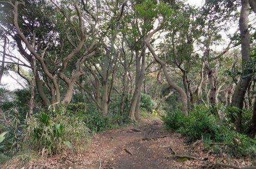 タブノキ林