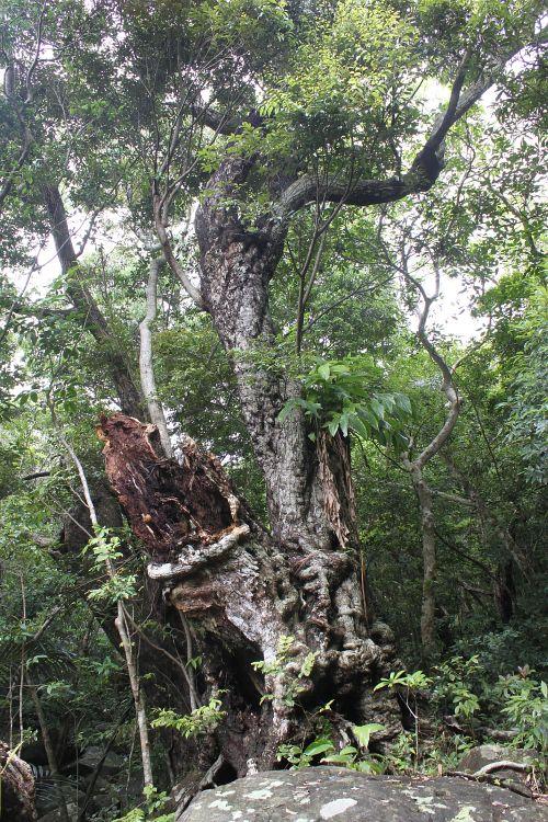 イタジイ巨木