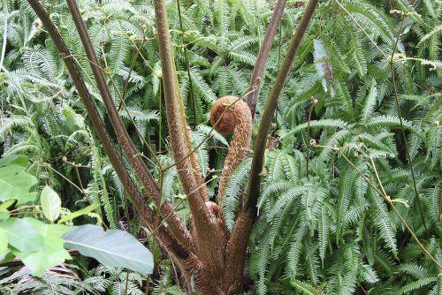 ヒカゲヘゴの芽