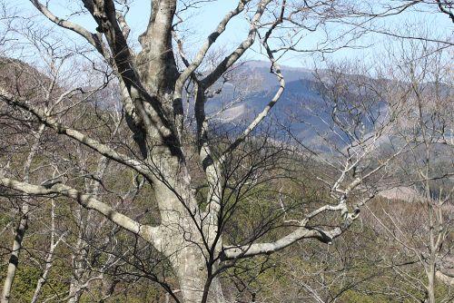 ブナ林と八溝山