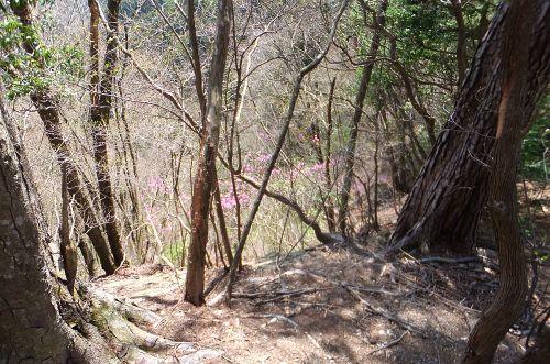 崖に咲くミツバツツジ