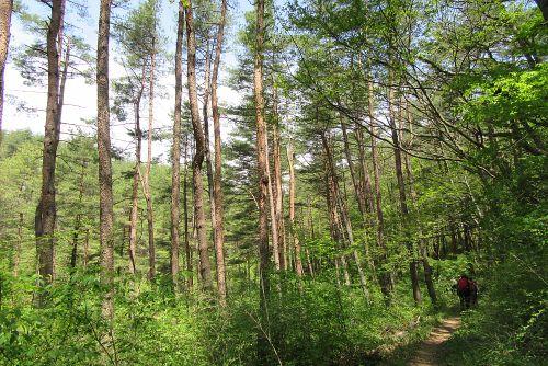 アカマツ主体の森