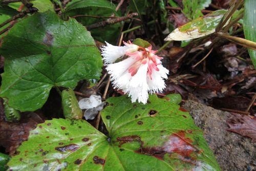 白花イワカガミ