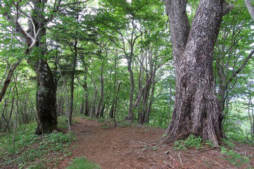 ブナミズナラ巨木林