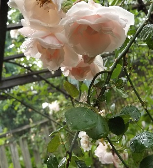 0605薔薇