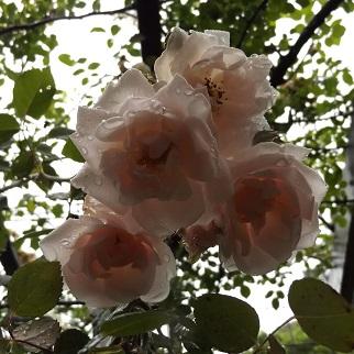 薔薇0605