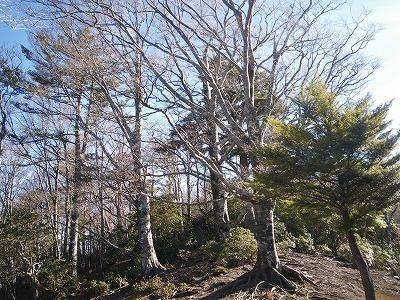 これって榛の木