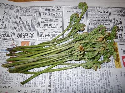 本日の収穫ワラビ