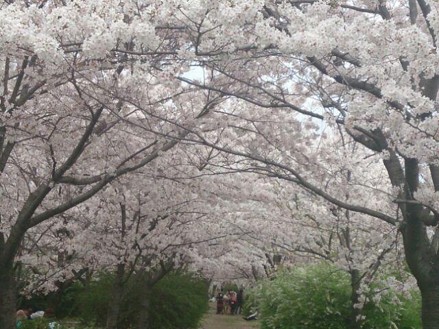 2015桜河川敷5