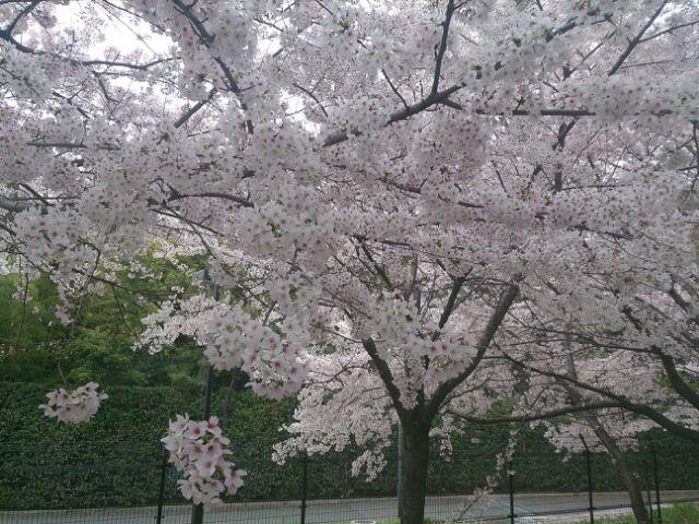 2015桜河川敷3