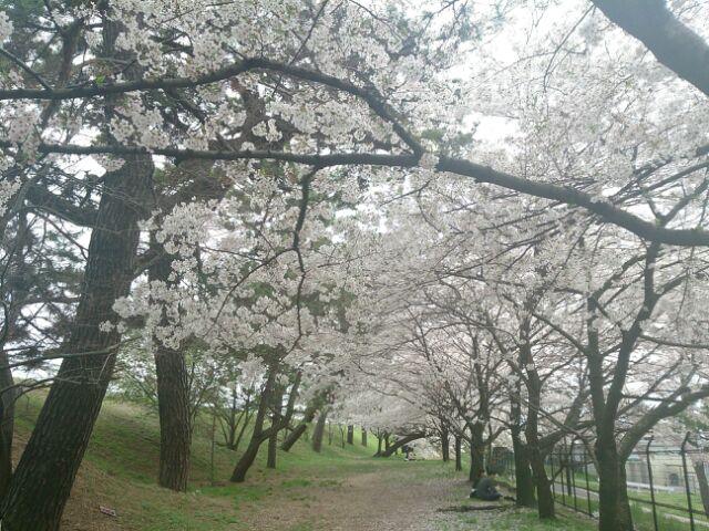 2015桜河川敷2