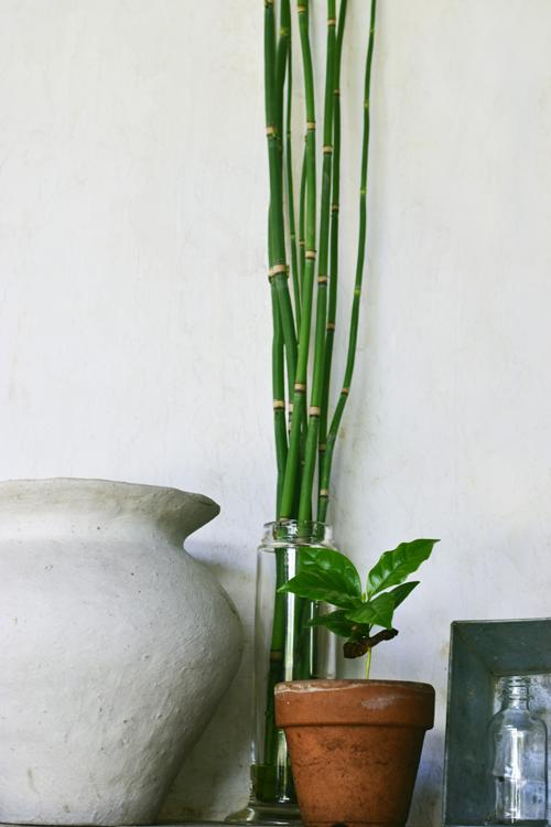 コーヒーの木の鉢