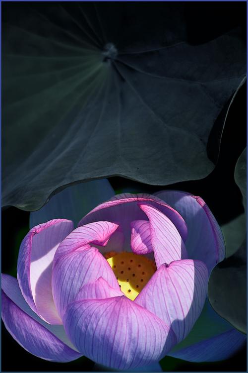 lotus_15_7_25_2.jpg