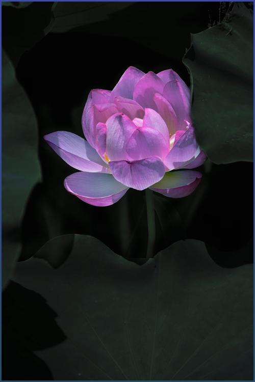 lotus_15_7_25_3.jpg