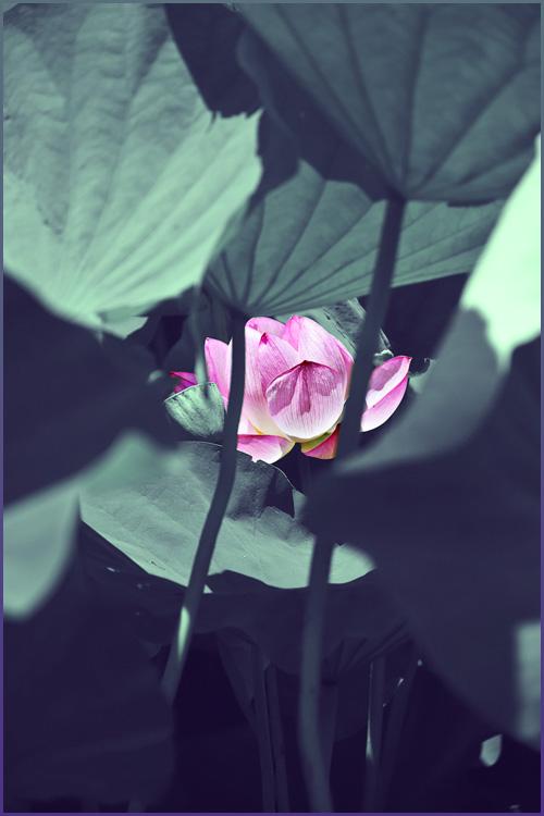 lotus_15_7_25_5.jpg