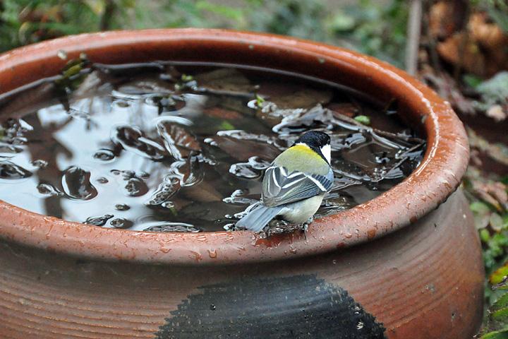 ビタキ水浴び