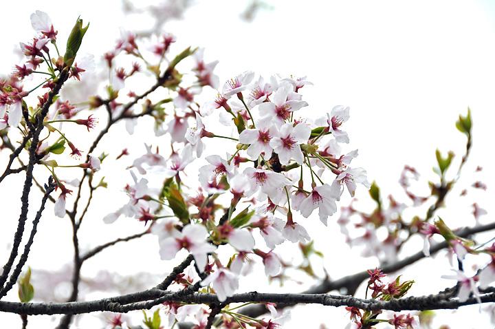 桜のお終い