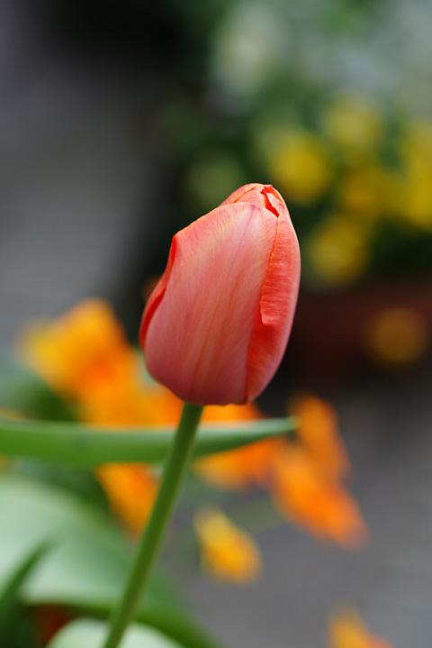 チューリップ咲き始め