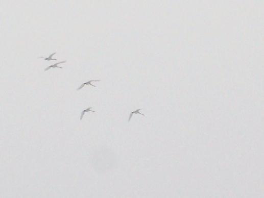20150320_北へ帰る白鳥