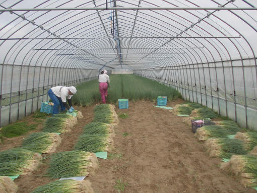 20150824_ネギ収穫