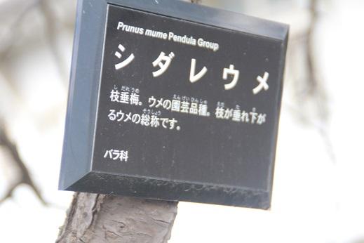 ピノとお散歩 2015-3-7-7