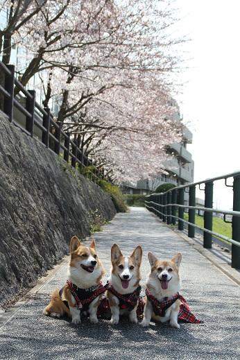 直方で桜 2015-3-29-1