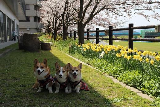 直方で桜 2015-3-29-2