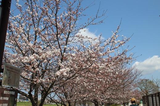 直方で桜 2015-3-29-3