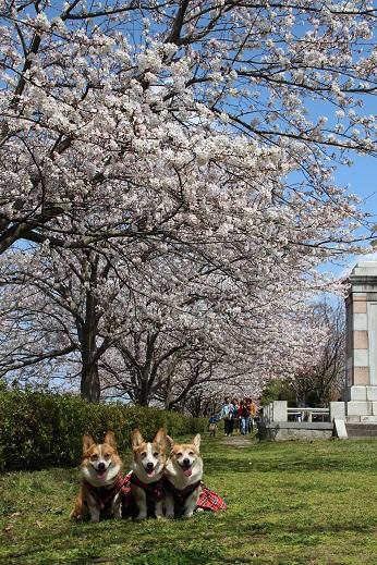 直方で桜 2015-3-29-4